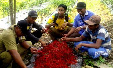 Kelompok Tani Sukses Budidayakan Tanaman Cabe