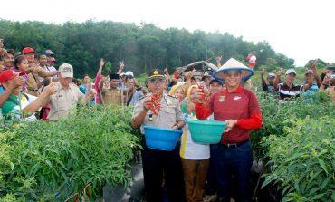 BupatiMura Bersama Ratusan Petani Panen Raya Cabe